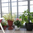 hobis keli augalai balkone gali tapti emocine atgaiva